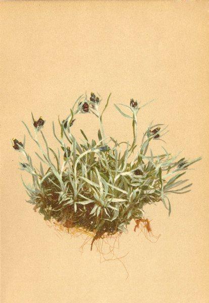 Associate Product ALPENFLORA ALPINE FLOWERS. Gnaphalium supinum L-Niedriges Ruhrkraut 1897 print