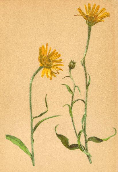 Associate Product ALPINE FLOWERS. Buphthalmum salicifolium L-Weidenblättriges Rindsauge 1897