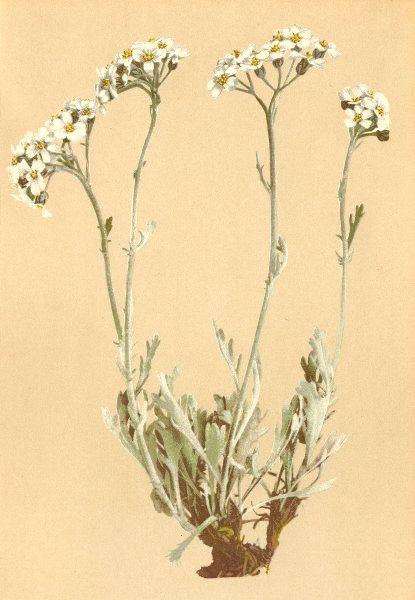 Associate Product ALPINE FLOWERS. Achillea clavenae L-Clavena's Schafgarbe, weisser Speik 1897