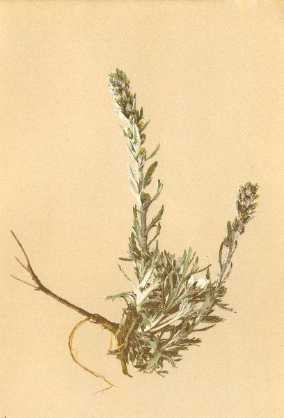 Associate Product ALPENFLORA ALPINE FLOWERS. Artemisia spicata Wulf-Ähriger Beifuss 1897 print