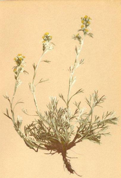 Associate Product ALPENFLORA ALPINE FLOWERS. Artemisia mutellina Vill-Edelraute 1897 old print