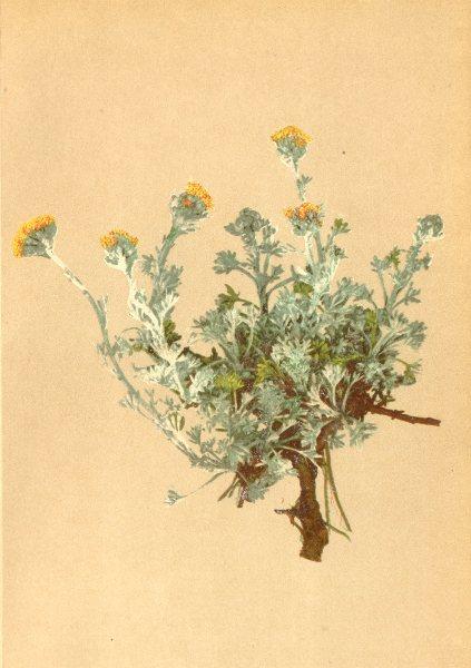 Associate Product ALPENFLORA ALPINE FLOWERS. Artemisia glacialis L-Gletscher-Beifuss 1897 print