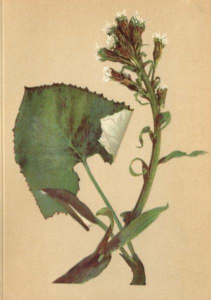 Associate Product ALPENFLORA ALPINE FLOWERS. Petasites niveus Baumg-Schneeweisse Pestwurz 1897