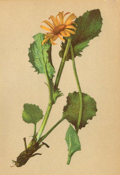 Associate Product ALPENFLORA ALPINE FLOWERS. Doronicum scorpioides (L. ) A. Kern-Hirschwurz 1897