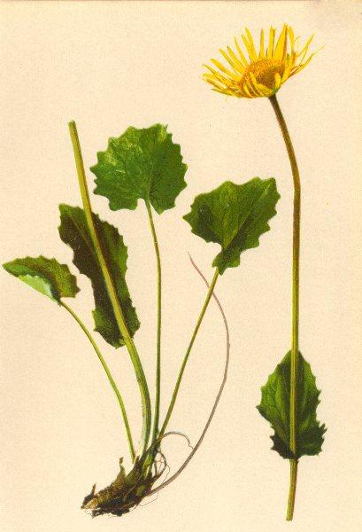 ALPINE FLOWERS. Doronicum cordatum Schultz. B-Herzblättrige Gemswurz 1897