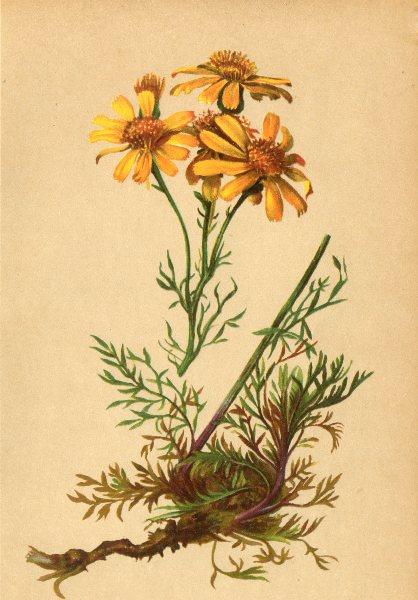 Associate Product ALPINE FLOWERS. Senecio abrotanifolius L-Stabwurzblättriges Kreuzkraut 1897