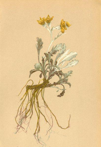 Associate Product ALPENFLORA ALPINE FLOWERS. Senecio incanus L-Graufilziges Kreuzkraut 1897