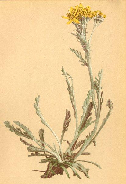 Associate Product ALPENFLORA ALPINE FLOWERS. Senecio carniolicus W-Krainisches Kreuzkraut 1897