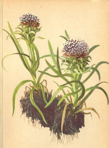 Associate Product ALPENFLORA ALPINE FLOWERS. Saussurea pygmaea (L. ) Spreng-Zwergalpenscharte 1897