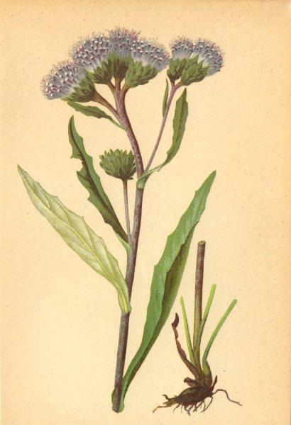 Associate Product ALPENFLORA ALPINE FLOWERS. Saussurea alpina (L. ) DC-Gemeine Alpenscharte 1897