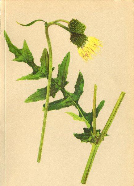 Associate Product ALPENFLORA ALPINE FLOWERS.Cirsium erisithales(L.)Scop-Klebrige Kratzdistel 1897