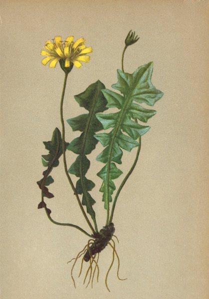 ALPENFLORA ALPINE FLOWERS. Aposeris foetida (L. ) Cass-Hainlattich 1897 print