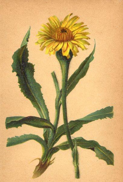Associate Product ALPENFLORA ALPINE FLOWERS.Hypochoeris uniflora Vill-Einköpfiges Ferkelkraut 1897