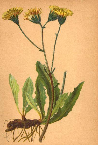 Associate Product ALPENFLORA ALPINE FLOWERS.Willemetia stipitata(Jacq.)O.Hoffm-Kronlattich 1897