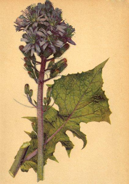 Associate Product ALPENFLORA ALPINE FLOWERS. Mulgedium alpinum (L. ) Cass-Alpen-Milchlattich 1897