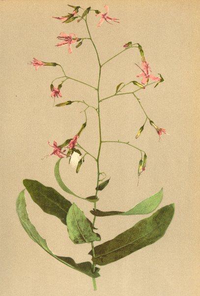 Associate Product ALPENFLORA ALPINE FLOWERS. Prenanthes purpurea L-Hasenlattich 1897 old print