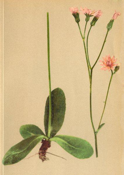 Associate Product ALPENFLORA ALPINE FLOWERS. Crepis incarnata Tausch-Fleischfarbiger Pipau 1897