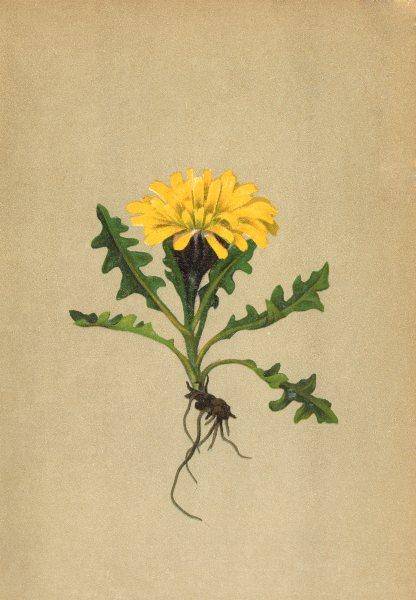 Associate Product ALPENFLORA ALPINE FLOWERS.Crepis terglouensis(Hacq.)A.Kern-Terglou-Pipau 1897