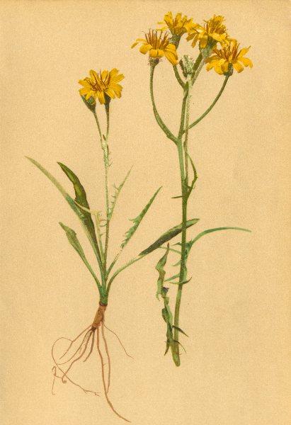 Associate Product ALPENFLORA ALPINE FLOWERS. Crepis Jacquini Tausch-Jacquin's Pipau 1897 print