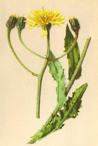 Associate Product ALPENFLORA ALPINE FLOWERS. Crepis grandiflora Tausch-Grossköpfiger Pipau 1897