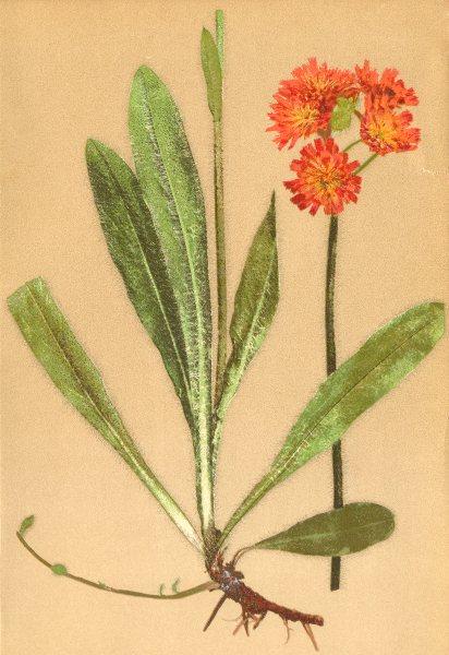 ALPINE FLOWERS. Hieracium aurantiacum L-Orangerothes Habichtskraut 1897 print