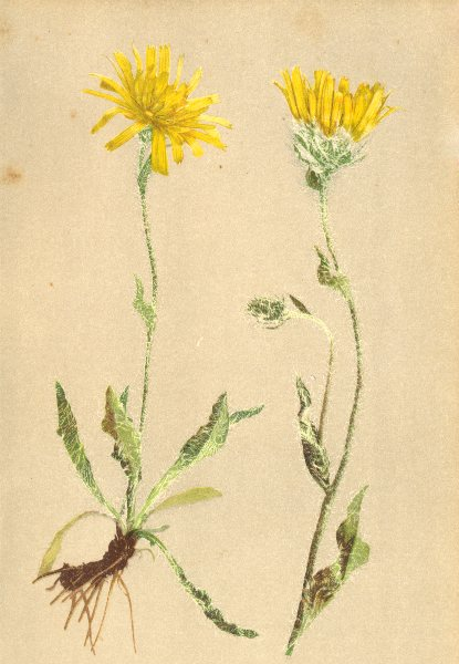 Associate Product ALPENFLORA ALPINE FLOWERS. Hieracium villosum L-Zottiges Habichtskraut 1897