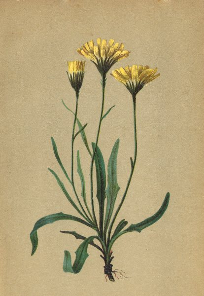 Associate Product ALPENFLORA. Hieracium staticifolium Vill-Grasnelkenblättriges Habichtskraut 1897