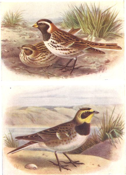BRITISH BIRDS. Lapland Bunting; Shore-Lark. THORBURN 1925 old vintage print