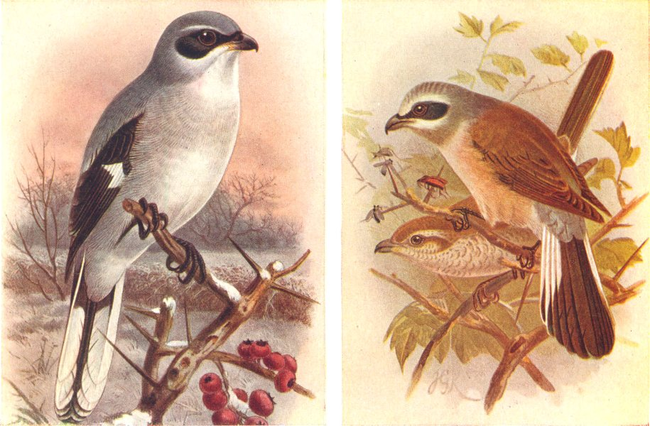 Associate Product BRITISH BIRDS. Great Grey Shrike; Red-backed Shrike. THORBURN 1925 old print