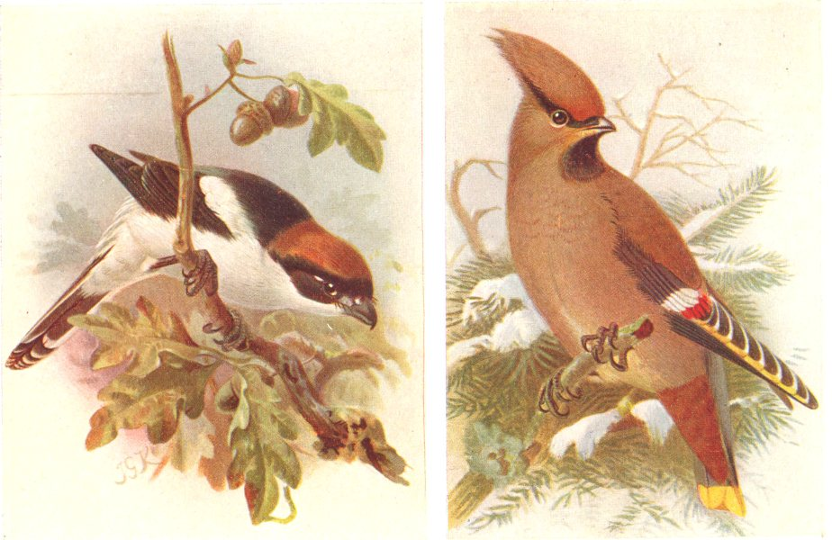 Associate Product BRITISH BIRDS. Woodchat; Waxwing. THORBURN 1925 old vintage print picture
