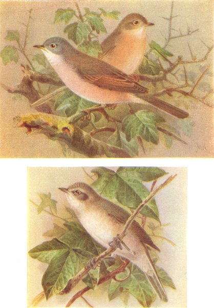 Associate Product BRITISH BIRDS. Common Whitethroat; Lesser Whitethroat. THORBURN 1925 old print