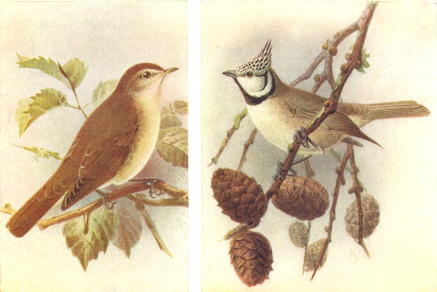 Associate Product BRITISH BIRDS. Garden Warbler; Crested Titmouse. THORBURN 1925 old print