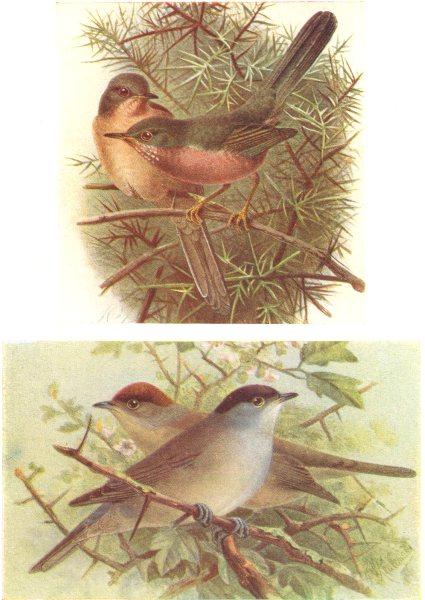 Associate Product BRITISH BIRDS. Dartford Warbler; Blackcap. THORBURN 1925 old vintage print