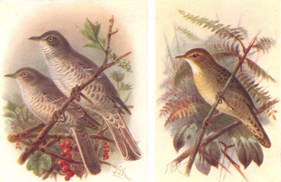 Associate Product BRITISH BIRDS. Barred Warbler; Grasshopper Warbler. THORBURN 1925 old print
