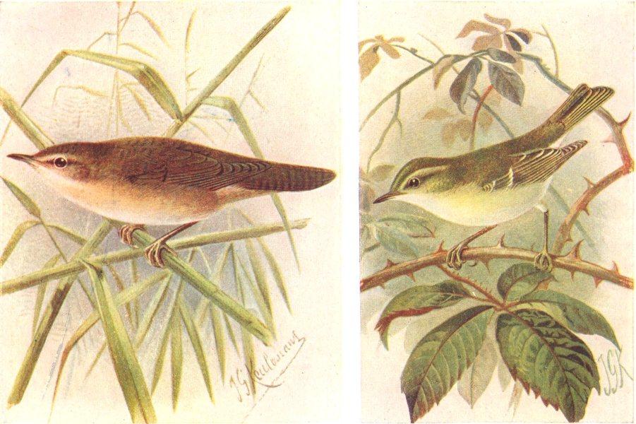 Associate Product BRITISH BIRDS. Savi's Warbler; Yellow-browed Warbler. THORBURN 1925 old print