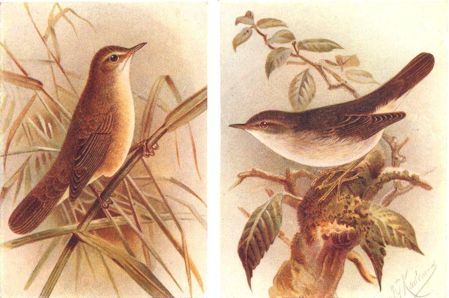 Associate Product BRITISH BIRDS. Reed Warbler; Marsh-Warbler. THORBURN 1925 old vintage print