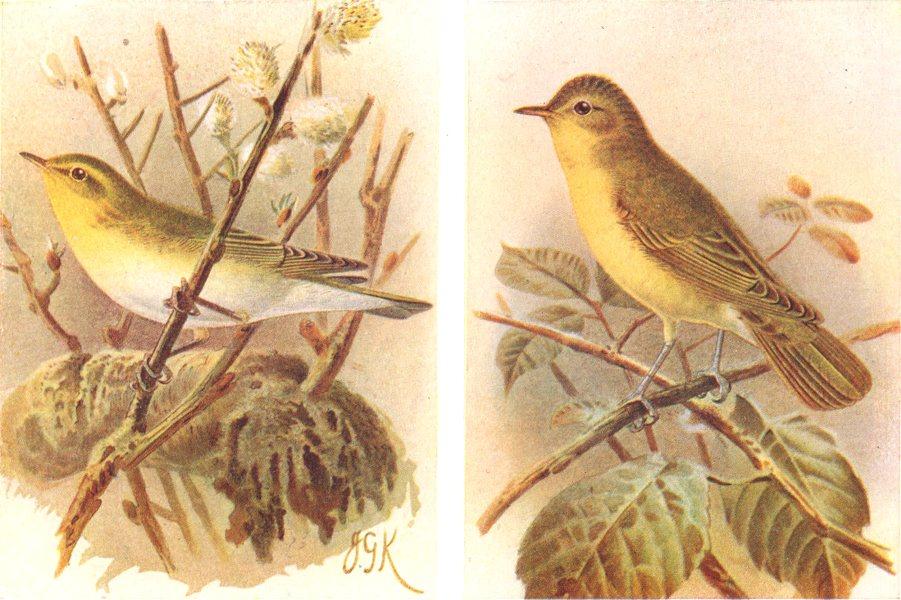 Associate Product BRITISH BIRDS. Wood-Warbler; Icterine Warbler. THORBURN 1925 old vintage print