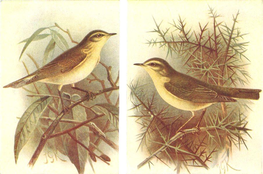 Associate Product BRITISH BIRDS. Chiffchaff; Willow-wren. THORBURN 1925 old vintage print