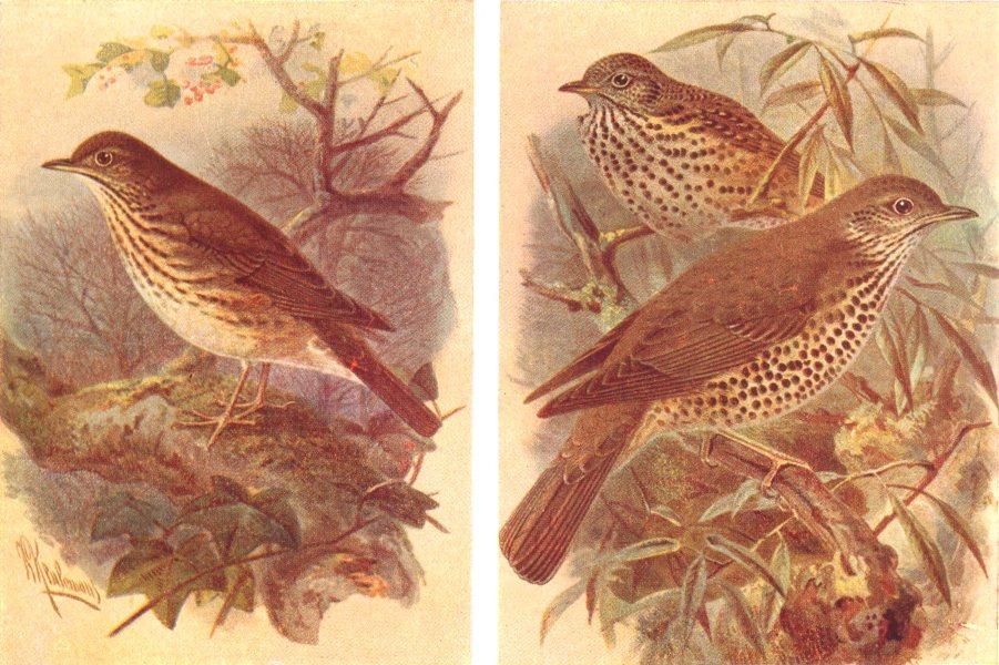 Associate Product BRITISH BIRDS. Song-Thrush; Mistle-Thrush. THORBURN 1925 old vintage print