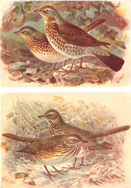 Associate Product BRITISH BIRDS. Fieldfare; Redwing. THORBURN 1925 old vintage print picture