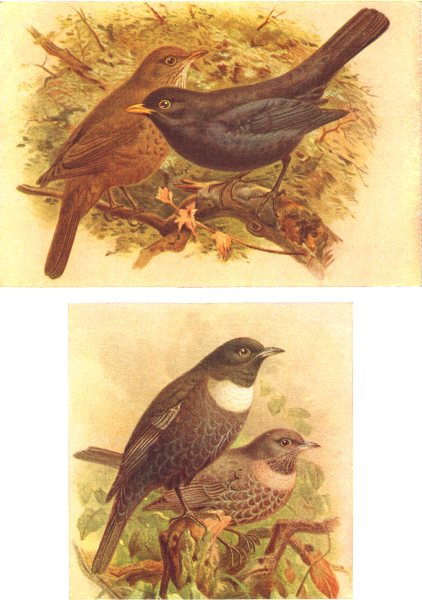 Associate Product BRITISH BIRDS. Blackbird; Ring-Ousel. THORBURN 1925 old vintage print picture