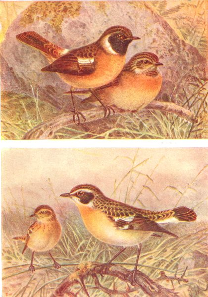 Associate Product BRITISH BIRDS. Stonechat; Whinchat. THORBURN 1925 old vintage print picture