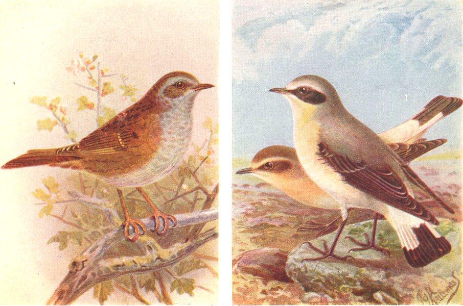 Associate Product BRITISH BIRDS. Hedge-Sparrow; Wheatear. THORBURN 1925 old vintage print