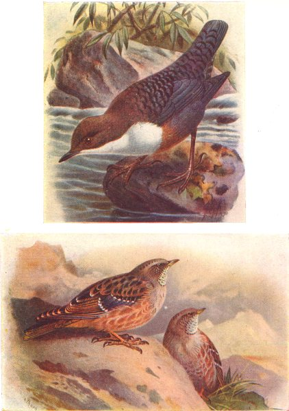 Associate Product BRITISH BIRDS. Dipper; Alpine Accentor. THORBURN 1925 old vintage print