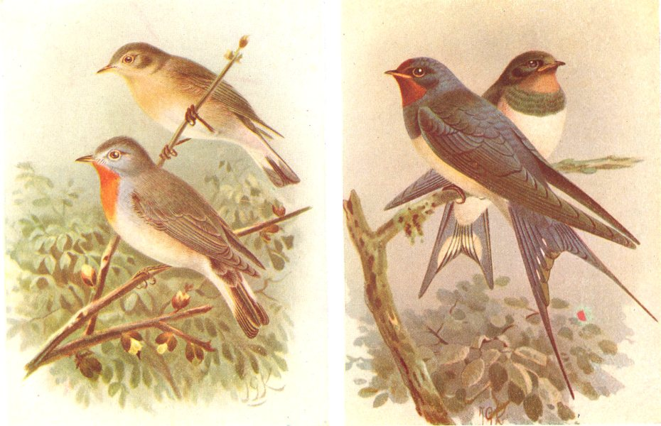 Associate Product BRITISH BIRDS. Red-Breasted Flycatchers; Swallows. THORBURN 1925 old print