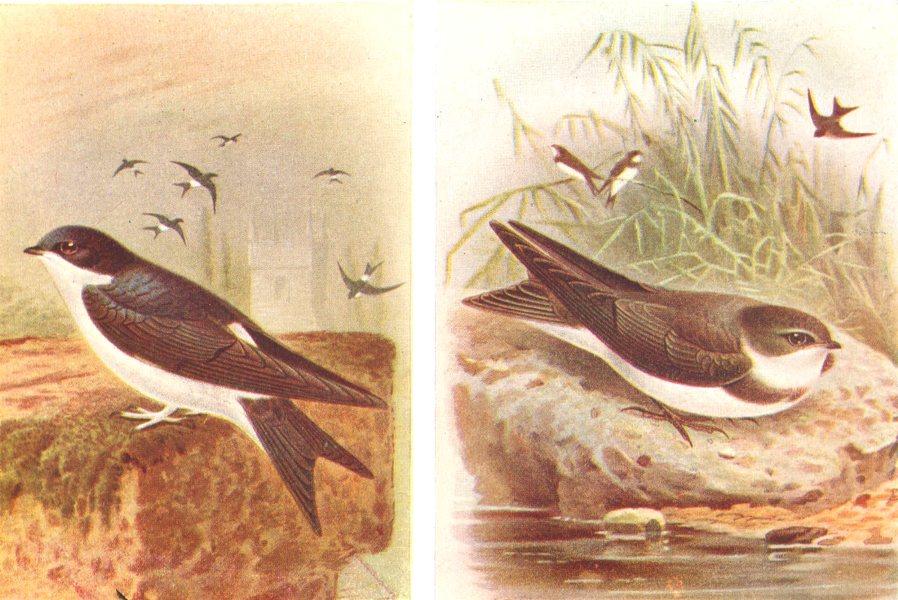 Associate Product BRITISH BIRDS. House-Martin; Sand-Martin. THORBURN 1925 old vintage print