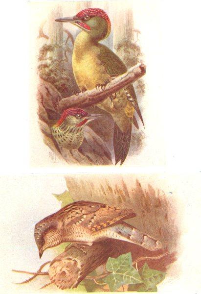 Associate Product BRITISH BIRDS. Green Woodpecker; Wryneck. THORBURN 1925 old vintage print