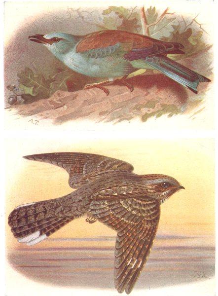 BRITISH BIRDS. Roller; Nightjar. THORBURN 1925 old vintage print picture