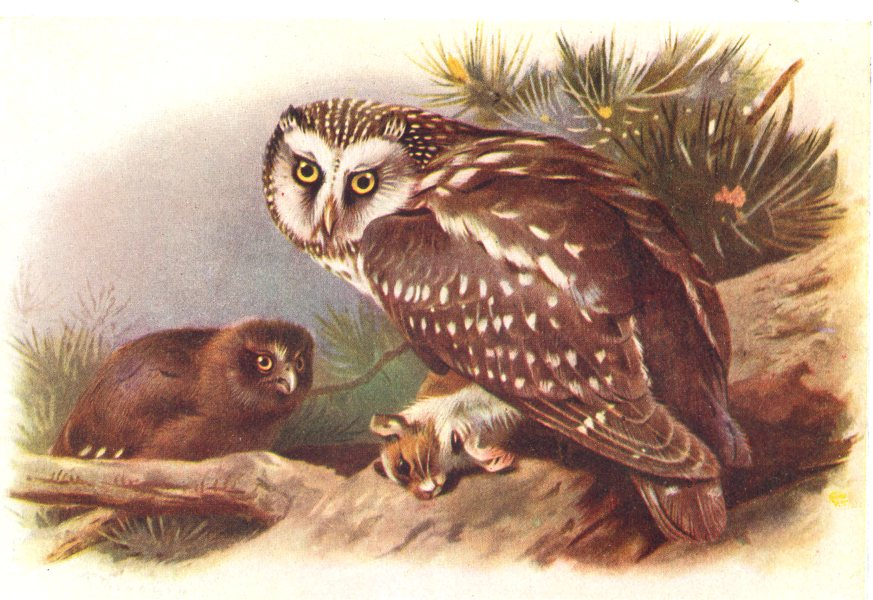 Associate Product BRITISH BIRDS. Tengmalm's Owl. THORBURN 1925 old vintage print picture