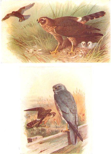 Associate Product BRITISH BIRDS.Montagu's Harrier.THORBURN 1925 old vintage print picture